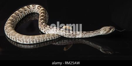 Black-tailed rattlesnake (Crotalus molossus) - Stock Photo