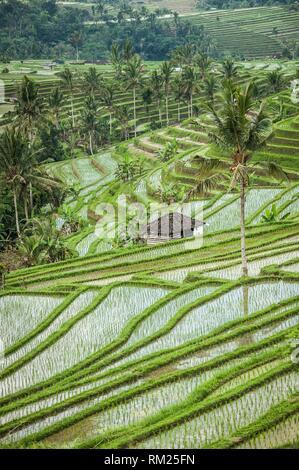Jatiluwih Rice Terraces, Bali UNESCO World Heritages (Tabanan Regency, Bali, Indonesia). - Stock Photo