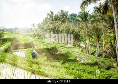 Indonesian farmer working in Jatiluwih Rice Terraces, Bali UNESCO World Heritages (Tabanan Regency, Bali, Indonesia). - Stock Photo