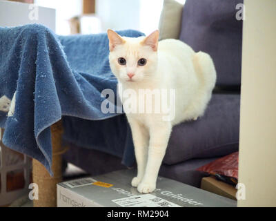 Mitzie the flame point Siamese chilling at the sofa - Stock Photo