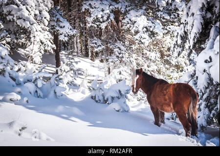 Horse walking through snow in the mountains surrounded by trees on a cold day. Madrid province, Spain - Stock Photo