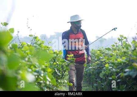 Farmer Spraying Pesticide at khulna, Bangladesh. - Stock Photo