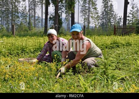 women working in a nursery coniferus trees for forestation, Chocholowska Valley, near Witow, Podhale Region, Polish Tatra mountains, Malopolska - Stock Photo