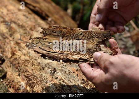 bark beetle´s larva and galleries on pine tree´s bark, Chocholowska Valley, near Witow, Podhale Region, Polish Tatra mountains, Malopolska Province - Stock Photo