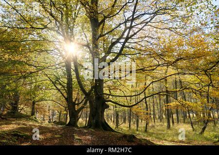 Beech trees and sunburst in autumn, Lake District, Keswick, Cumbria, England, UK - Stock Photo