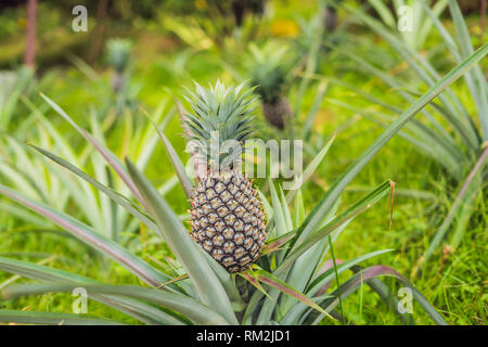 Pineapple tropical ripe fruit growing in garden - Stock Photo