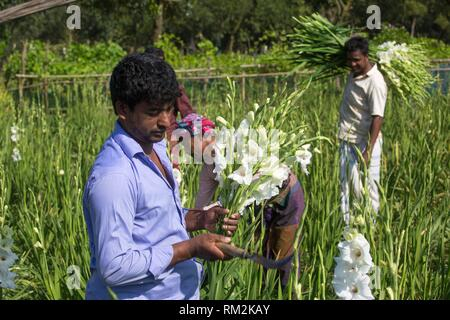 Gladiolus grows all the year and thatâ.s because its Profitable cultivation of gladiolus flower is gaining popularity among farmers in the district - Stock Photo