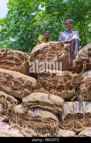 Tobacco field in outside of Dhaka, Vatara, manikganj, Bangladesh. - Stock Photo