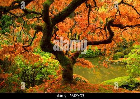 Japanese maple in autumn, Portland Japanese Garden, Washington Park, Portland, Oregon. - Stock Photo
