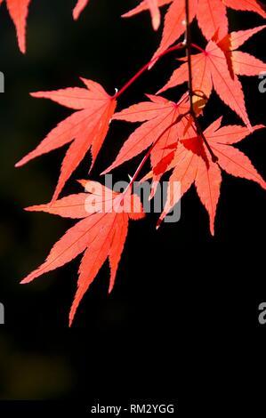 Japanese maple leaves in autumn, Portland Japanese Garden, Washington Park, Portland, Oregon. - Stock Photo