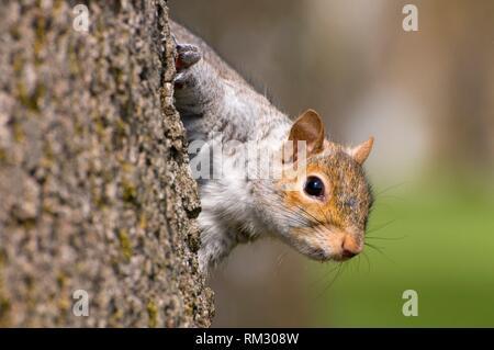 Eastern gray squirrel (Sciurus carolinensis), Bushs Pasture Park, Salem, Oregon. - Stock Photo