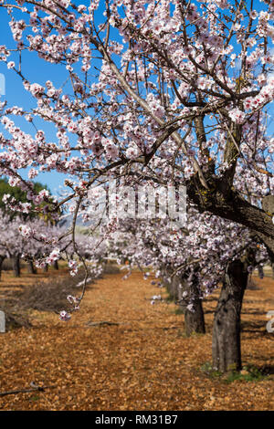 Almond blossom, prunus dulcis in the Jalon Valley, Costa Blanca, Spain - Stock Photo