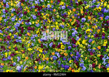 Multicolor pansy flowers or pansies as background or card. Field of colorful pansies with white yellow and violet pansy flowers on flowerbed in perspe - Stock Photo