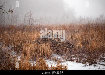 A beaver dam (also known as a lodge or impoundment) in a pond on a foggy winter morning in Westford, Massachusetts, USA. - Stock Photo