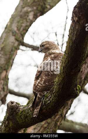 A juvenile red-tailed hawk (Buteo jamaicensis) sitting in a tree at Mount Auburn Cemetery in Cambridge, Massachusetts, USA. - Stock Photo