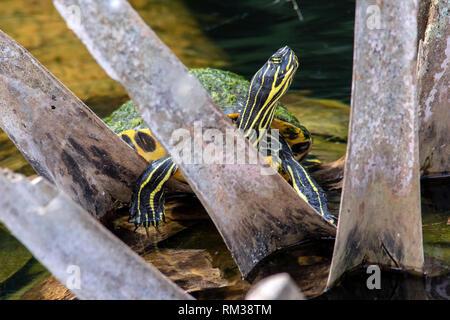 Florida Red-bellied Turtle - Green Cay Wetlands, Boynton Beach, Florida, USA - Stock Photo