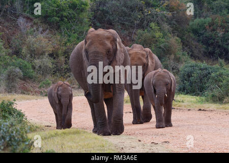 African bush elephants (Loxodonta africana), two adult females with two young, walking on a dirt road, Addo Elephant NP, Eastern Cape, South Africa - Stock Photo
