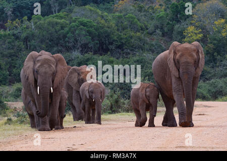 African bush elephants (Loxodonta africana), herd with calves, crossing a dirt road, Addo Elephant National Park, Eastern Cape, South Africa, Africa - Stock Photo