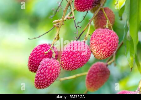 The Lychee is a fresh small fruit having whitish pulp with fragrant flavor. The fruit is covered by a pink-red roughly shell and easily removed to - Stock Photo