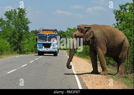 free wild elephant waiting for gift from travellers on the edge of the road near Lunugamvehera National Park, Sri Lanka, Indian subcontinent, South - Stock Photo