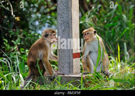 toque macaque (Macaca sinica) at the road side, Sri Lanka, Indian subcontinent, South Asia. - Stock Photo