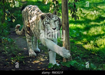 white tiger at ZooParc de Beauval, Loir-et-Cher department, Centre-Val de Loire region, France, Europe. - Stock Photo