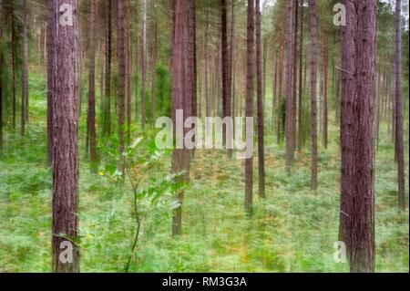motion blur on Eagle fern bed (Pteridium aquilinum ) under pine trees in the Forest of Rambouillet, Haute Vallee de Chevreuse Regional Natural Park, - Stock Photo