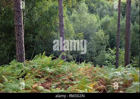 Eagle fern bed (Pteridium aquilinum ) in the Forest of Rambouillet, Haute Vallee de Chevreuse Regional Natural Park, Department of Yvelines, Ile de - Stock Photo