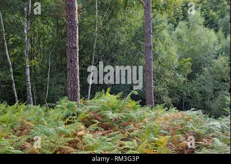 Eagle fern bed (Pteridium aquilinum ) in the Forest of Rambouillet, Haute Vallee de Chevreuse Regional Natural Park, Department of Yvelines, Ile de - Stock Photo