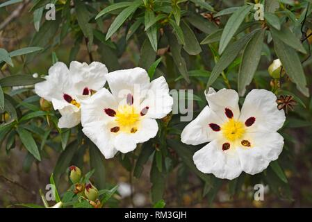 blooming gum rockrose (Cistus ladanifer), Alentejo region, Portugal, southwertern Europe. - Stock Photo