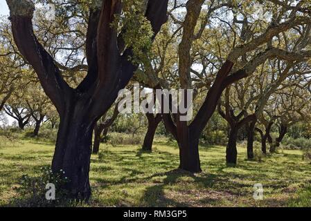 cork oak tree grove near Evora, Alentejo region, Portugal, southwertern Europe. - Stock Photo