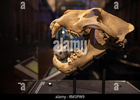 Barbary lion skull, in The Natural History Museum in London, Uk - Stock Photo