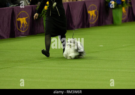 New York, United States. 12th Feb, 2019. New York, NY - February 12, 2019: Havanese named Bono won Reserve Best in show during 143rd Westminster Kennel Club Dog Show at Medison Square Garden Credit: lev radin/Alamy Live News - Stock Photo