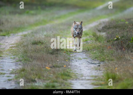 wolf (canis lupus) on a dirt road, soegel, lower saxony, germany - Stock Photo