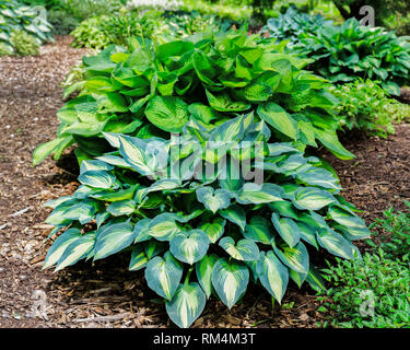 Various colors of hosta plants in the perennial garden. - Stock Photo