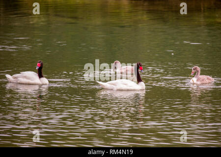 Black-necked Swan (Cygnus melancoryphus) Male and female swimming in water. Photographed in Tierra del Fuego, Argentina - Stock Photo