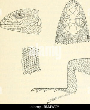 . Annual report of the Board of Regents of the Smithsonian Institution. Smithsonian Institution; Smithsonian Institution. Archives; Discoveries in science. CROCODIIJANS, LIZARDS, AND SNAKES. 303 boyond the A'ent. Male with oiiliirg^ed postanal scales. Fourteen to seventeen iemoral pores. The adpressed liind limb reaches the ear; tibia as long as the shielded part of the head; the distance between the base of the fifth toe aiul the extremity of the fourth slightly exceeds the distance between the end of the snout and the posterior border of the ear. Olive above, with transverse black spots; a n - Stock Photo