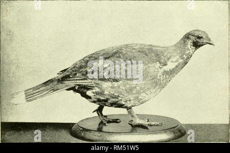 . Annual report of the Board of Regents of the Smithsonian Institution. Smithsonian Institution; Smithsonian Institution. Archives; Discoveries in science. Fig. 1. Dusky Grouse (Dendragapus obscurus). Reduced. (Cat. No. 112682, U. S. N. M.). Fig. 2. Richardson's Grouse (Dendragapus canadensis riehardsoni). Reduced. (Cat. No. 126345, U. S. N. M.). Please note that these images are extracted from scanned page images that may have been digitally enhanced for readability - coloration and appearance of these illustrations may not perfectly resemble the original work.. Smithsonian Institution. Board - Stock Photo