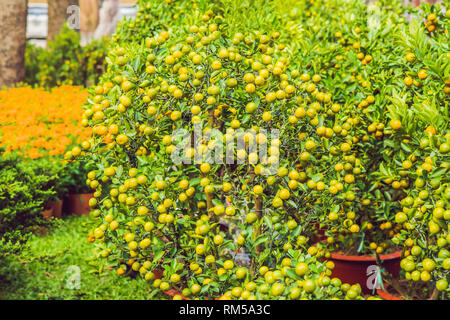 Close up Vibrant orange citrus fruits on a Kumquat tree in honor of the Vietnamese new year. Lunar new year flower market. Chinese New Year. Tet - Stock Photo