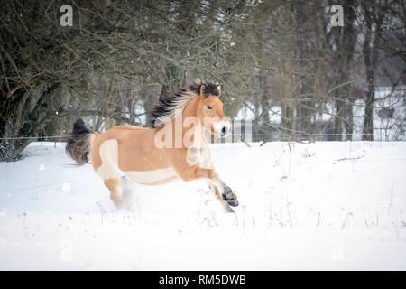 Norwegian Fjord Horse in snow - Stock Photo
