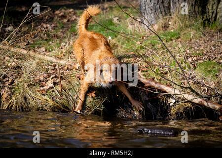 Nova Scotia Duck Tolling Retriever on the water - Stock Photo