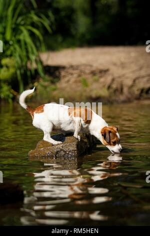young Jack-Russell-Pug-Mongrel - Stock Photo