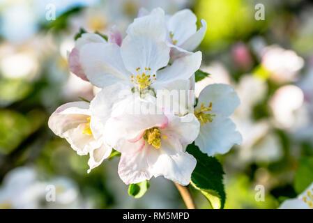 Apple flower, spring blossom, macro of white blossoming branch of fruit tree - Stock Photo