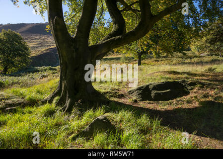 Mature Beech tree in the hills near Dove Stone reservoir, Greenfield, Peak District, England. - Stock Photo