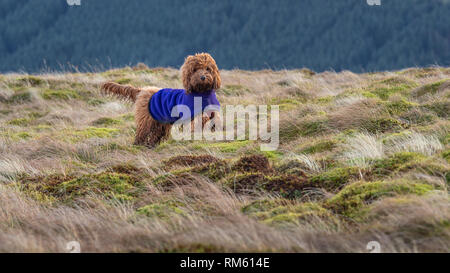 A muddy young cockappo puppy enjoying a walk outdoors on the hillside - Stock Photo
