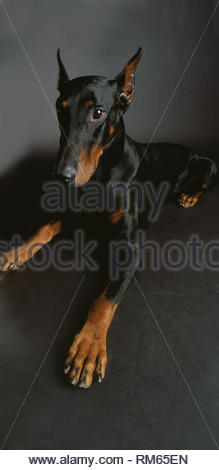 Doberman in front of black background - Stock Photo