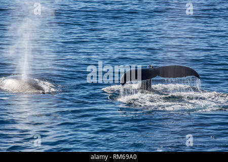 Antarctic minke whale (Balaenoptera bonaerensis). This whale is found in the Southern hemisphere, spending the winter in tropical waters and migrating - Stock Photo
