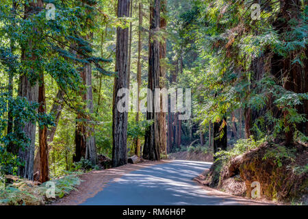 Towering redwood sequoia trees at, Big Basin Redwoods State Park. - Stock Photo