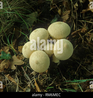 Devils tobacco pouch or common puffball (Lycoperdon perlatum) fruiting bodies - Stock Photo