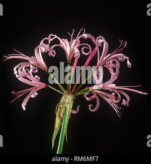 Pink Guernsey lily, Cornish, lily, Cape flower or bowden lily, Nerine bowdenii, pink flowers of ornamenal bulbous herbaceous plant - Stock Photo
